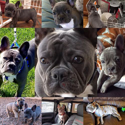 Wild Blue French Bulldog Puppies For Sale New Mexico